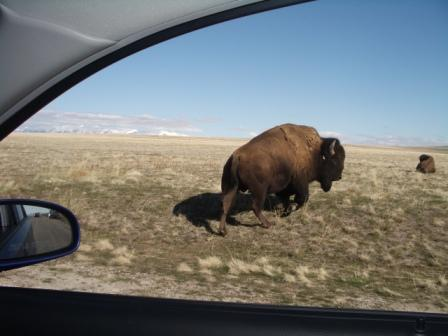 One of the many buffalo